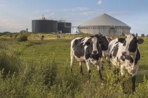 Kuh vor Biogas Silo